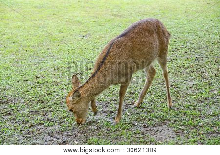 Female Sika Deer
