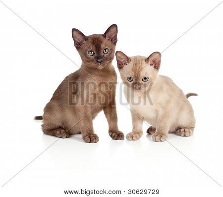 Burmese cats sitting on white