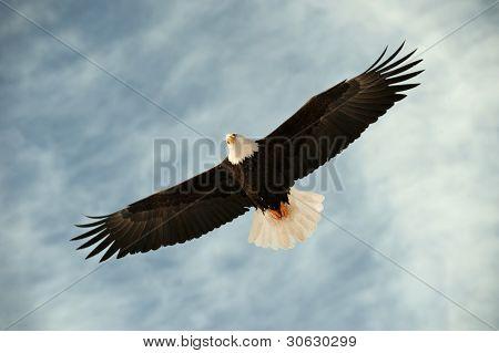 Bald Eagle In Flight Awaiting Fish Feeding