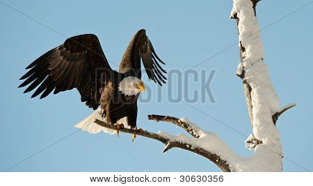 Landing Of An Eagle.