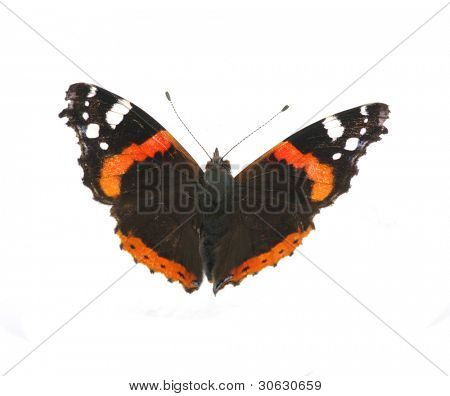 Vanessa atalanta butterfly on white