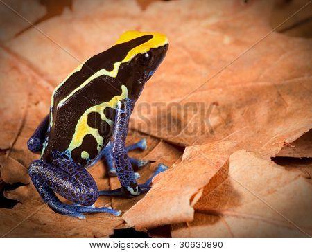 poison dart frog dendrobates tinctorius tropical amphibian of amazon rainforest