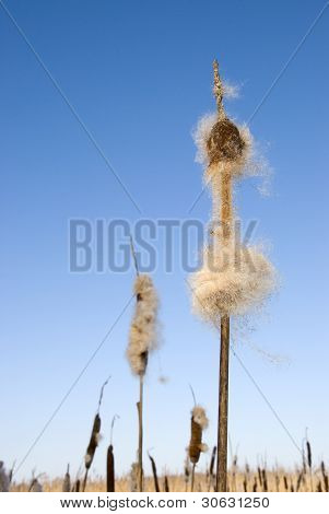 Seedy Reed Stalks Head In Winter  Cat-tail