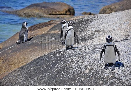 Cape Penguins
