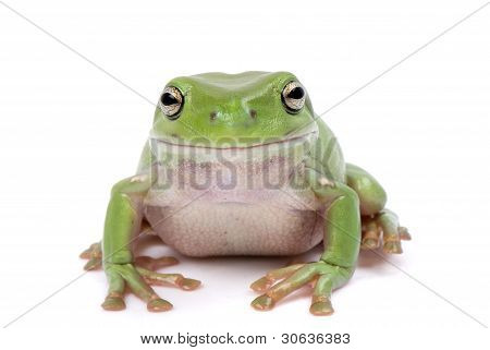 Green tree frog smiling on a white background