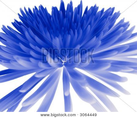 Blue Chrysanthemum.