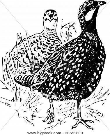 Bird francolinus