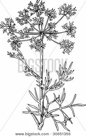 Plant foeniculum (Flowering fennel)