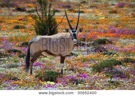 Oryx en flores