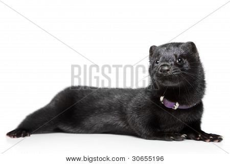 American Mink On White Background