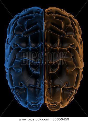 Hemispheres of the brain top view