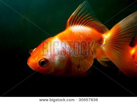Male Goldfish