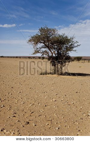 Tree in desert of Maroc
