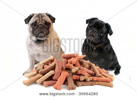 Two Cute Pugs Behind Dog Treats