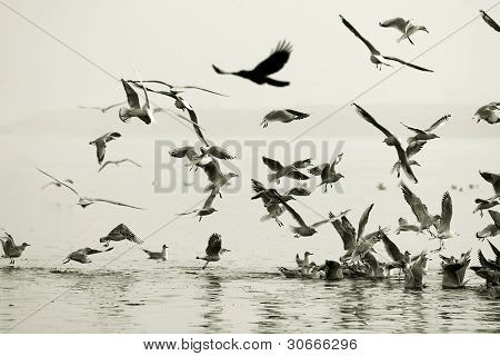 Seagulls eatingon Ganges River at Varanasi, India