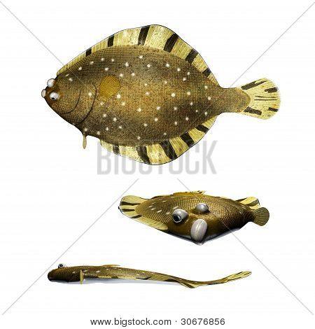 Barfin Flounder