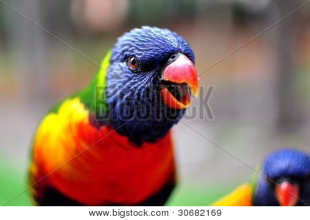 Lorikeet talk
