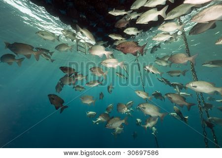 Fish gathering under a floating jetty.