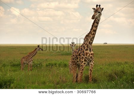 giraffe mother and twins