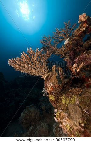 Acropora  in the Red Sea.