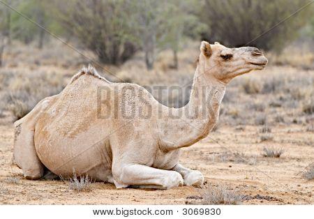 Resting Camel In Australian Desert