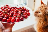 Offering Cherries To Red Cat Side View. Hand Holding White Plate With Sweet Summer Berries. Funny Me poster