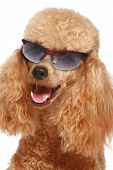 Close-up, cachorro de caniche Apricot en gafas de sol