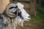 Hairy Goat Portrait With Curly Horns In The Zoo, Mammal Animals poster
