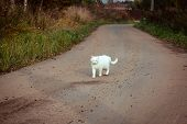 White Homeless Beautiful Cat Walking On The Road, Staring And Squinting. A Lonely Stray Cat Is Looki poster