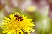 Honey Bee Collecting Pollen On Yellow Dandelions. Bee On A Flower.green Field With Yellow Dandelions poster