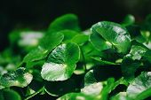 Centella Asiatica Leaves Green Nature Leaf Medical Herb In The Garden Background / Gotu Kola , Asiat poster