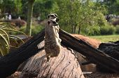 The Meerkat Or Suricate (suricata Suricatta) Is A Small Carnivoran Belonging To The Mongoose Family  poster
