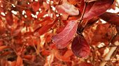 Bright Red Leaves Of A Red Copper Beech In Spring, Leaves, Branch, Glowing Edges Of Red Leaves On Re poster