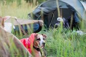 A Dog Rests In A Sleeping Bag In Front Of A Canoe Boat At Camping Site. Active Rest With Domestic Pe poster