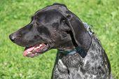 Norwegian Half-breed Close Up. Norwegian Sports Mestizo. Cross-breed Pointer, Kurzhaar And Greyhound poster