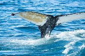 Detail of humpback (Megaptera novaeangliae) fin tail, Iceland. Whale watching is one of the most pop poster