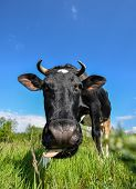 The Portrait Of Cow With Big Snout On The Background Of Green Field. Farm Animals. Grazing Cow poster