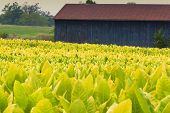 image of tobacco barn  - Tobacco farm - JPG