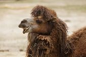 Bactrian camel (Camelus bactrianus). Domesticated animal. poster