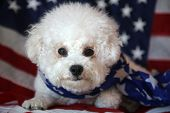 Pure Bred Bichon Frise with an American Flag. Forth of July with a small white dog. Mans best friend poster