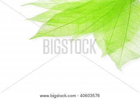 Green Transperent Leaves