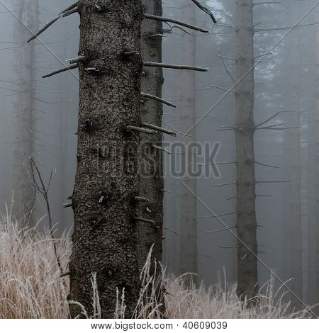 Spruce trunks