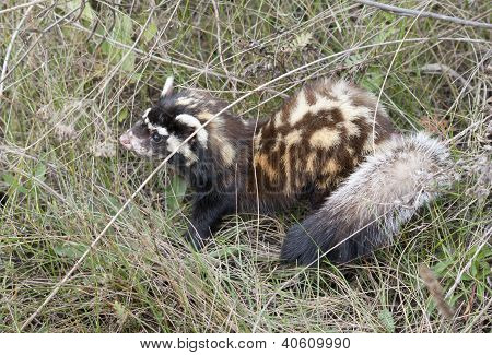 Marbled  Polecat Among Grass.