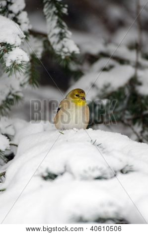 American Goldfinch In The Show