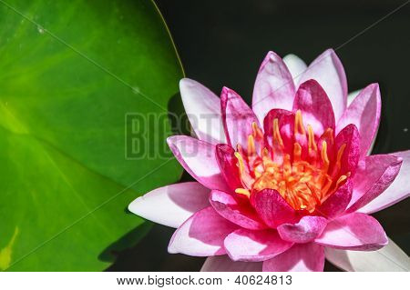 Red Water Lily (nymphaea Spp.) Attraction