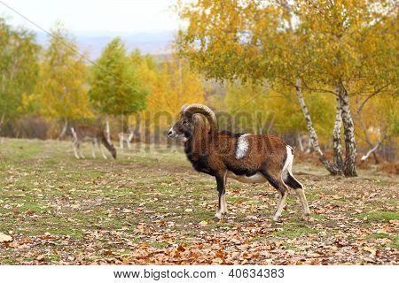 Mouflon In Fall Season