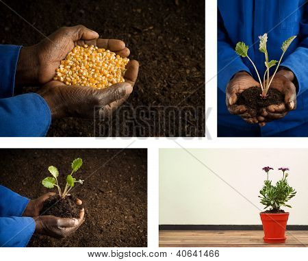 African American Hands Holding Seeds And Plant Gardening