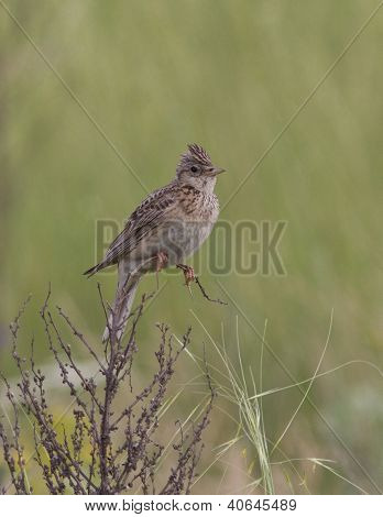 Skylark Sitting On A Branch Of Dry Grass.