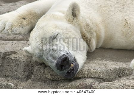 Polar Bear Sleeping on Rock