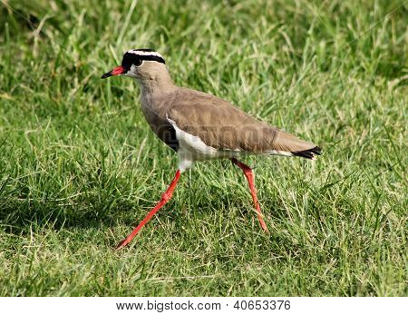 Crowned Plover Lapwing Bird Walking